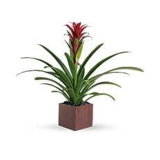 Bromeliad Beauty, image