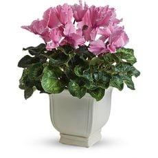 Cyclamen flowers bouquet