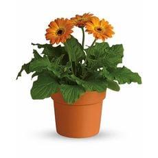 Orange Potted Gerberas, image