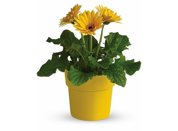 Yellow Potted Gerberas